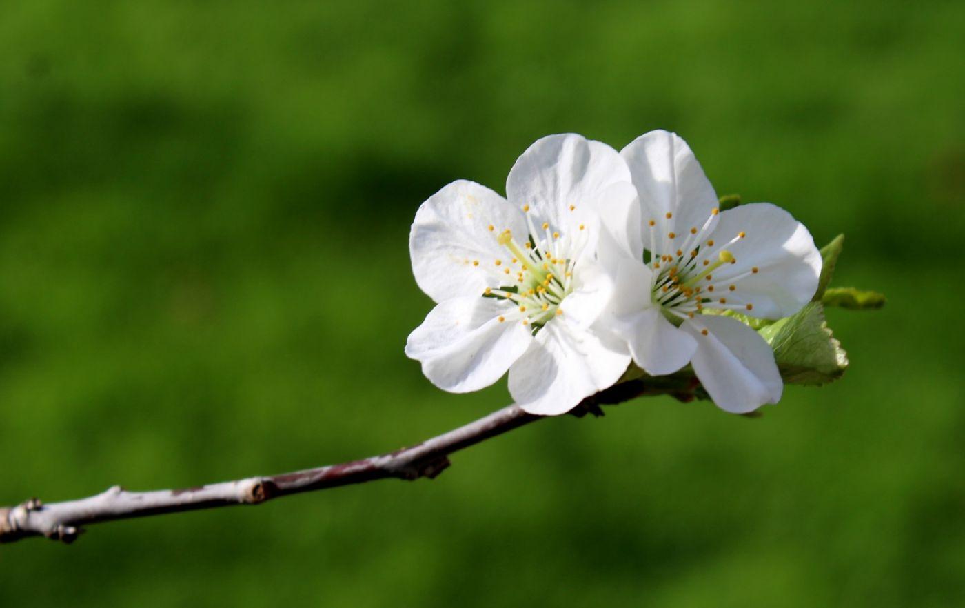 樱桃花开了_图1-8
