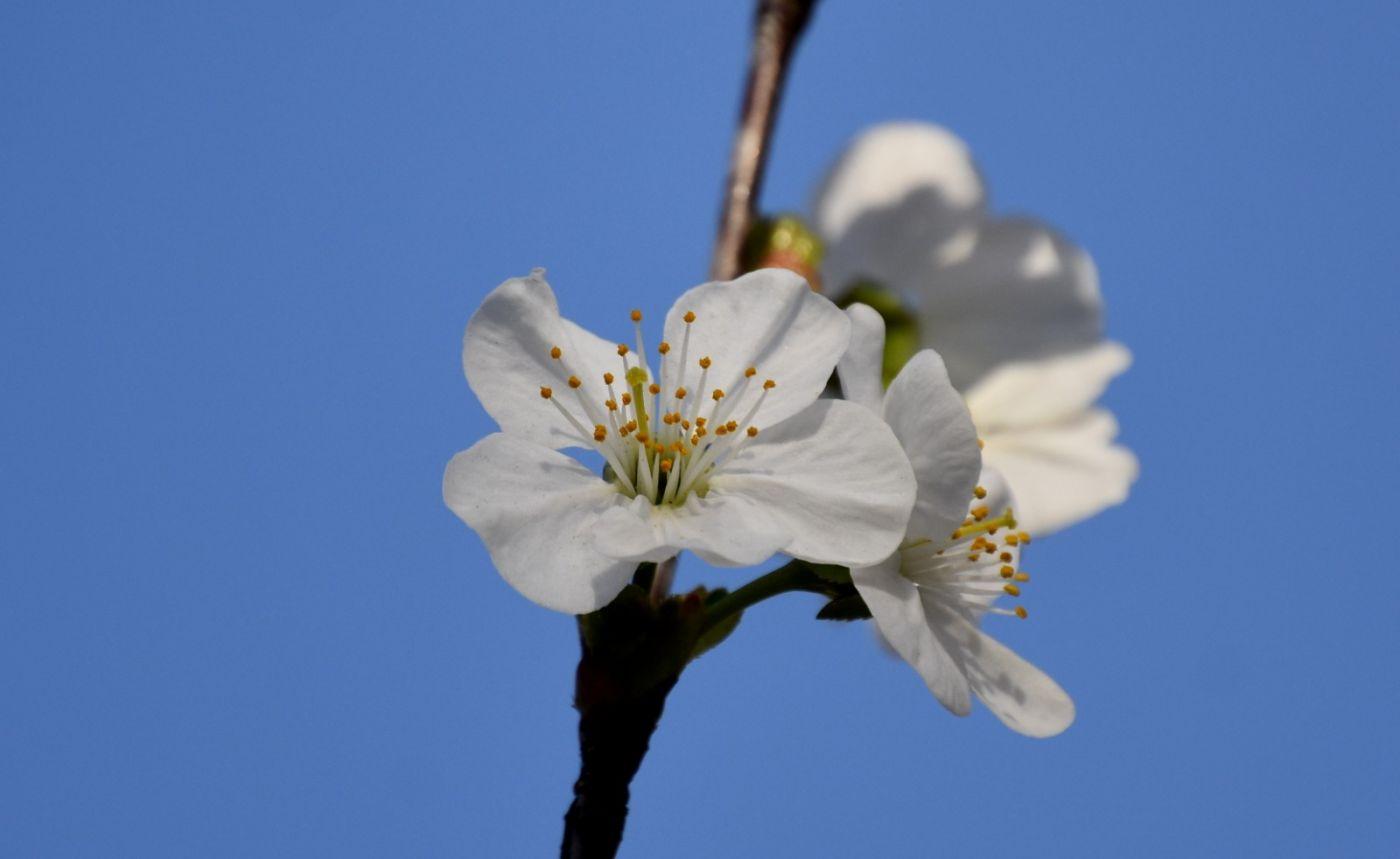 樱桃花开了_图1-9