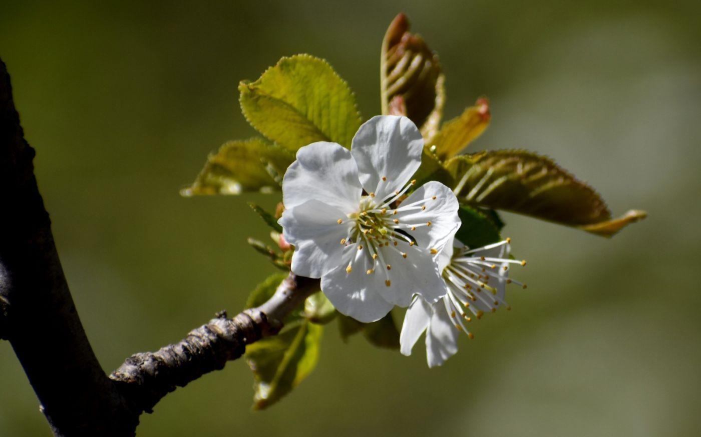 樱桃花开了_图1-10