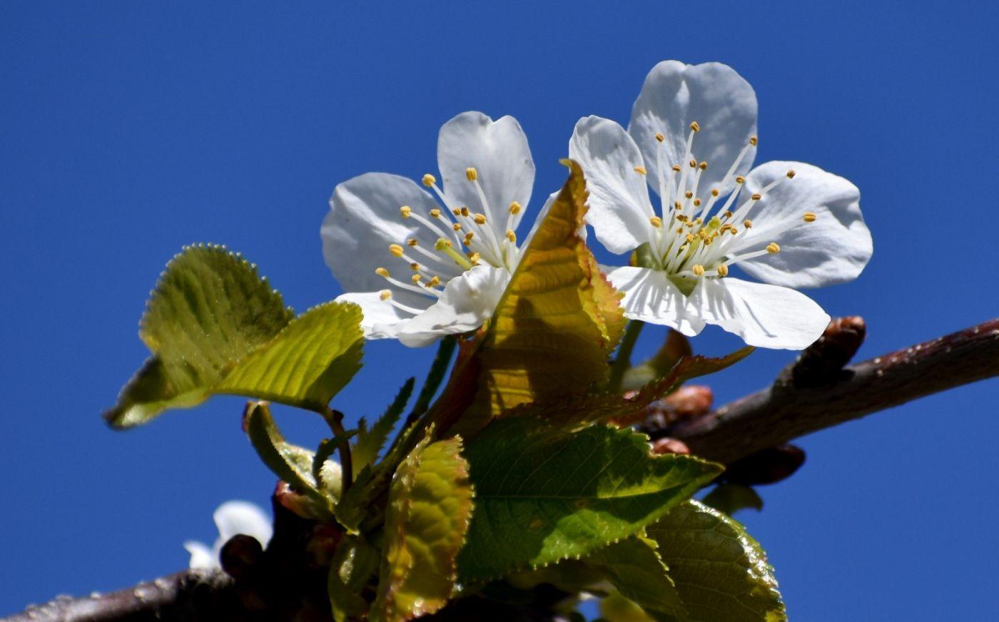 樱桃花开了_图1-11