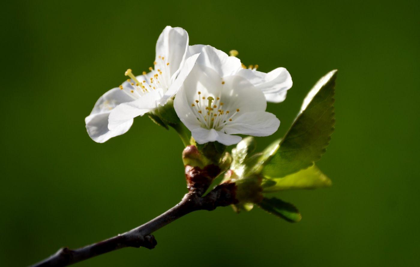 樱桃花开了_图1-12