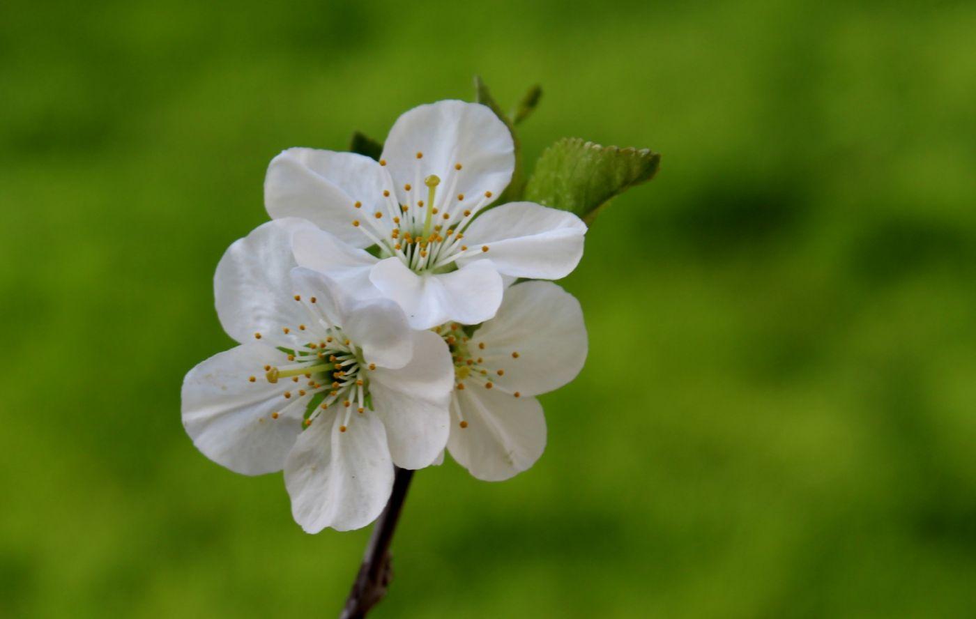 樱桃花开了_图1-13