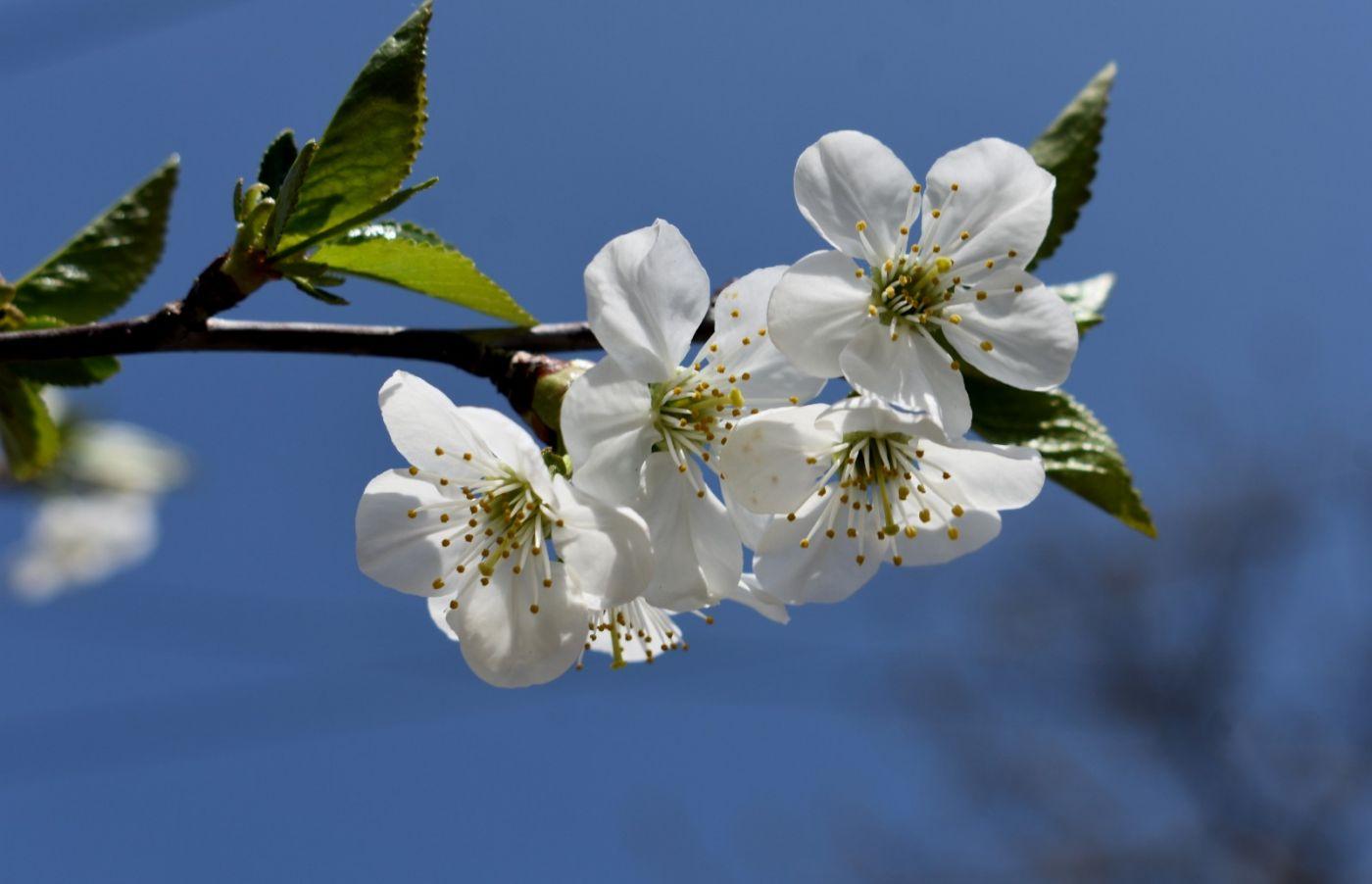 樱桃花开了_图1-14