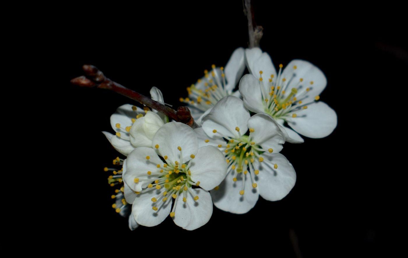 樱桃花开了_图1-15
