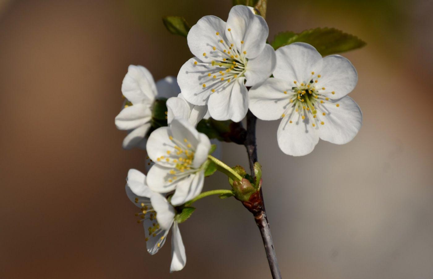 樱桃花开了_图1-16