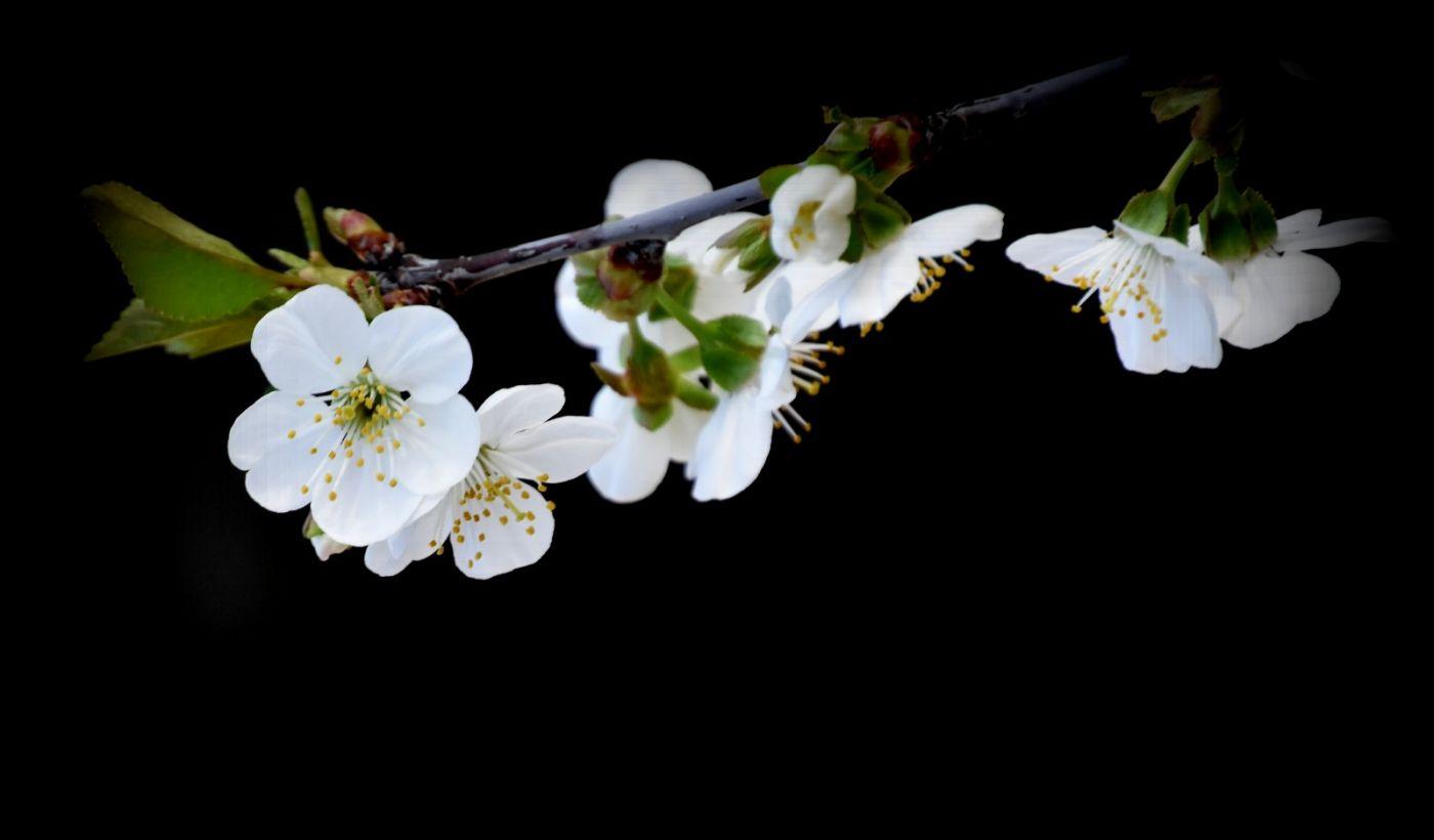 樱桃花开了_图1-17