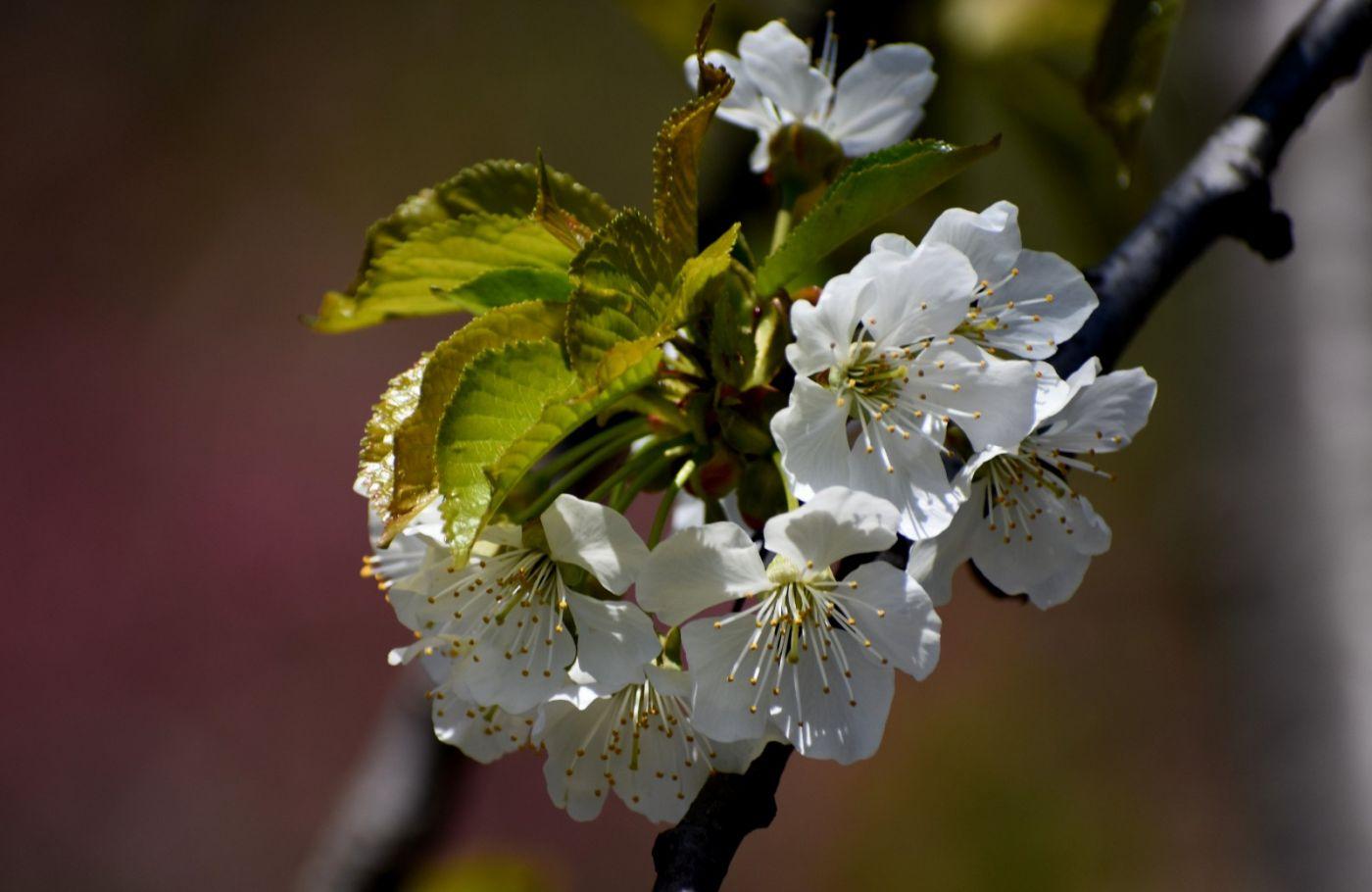 樱桃花开了_图1-18