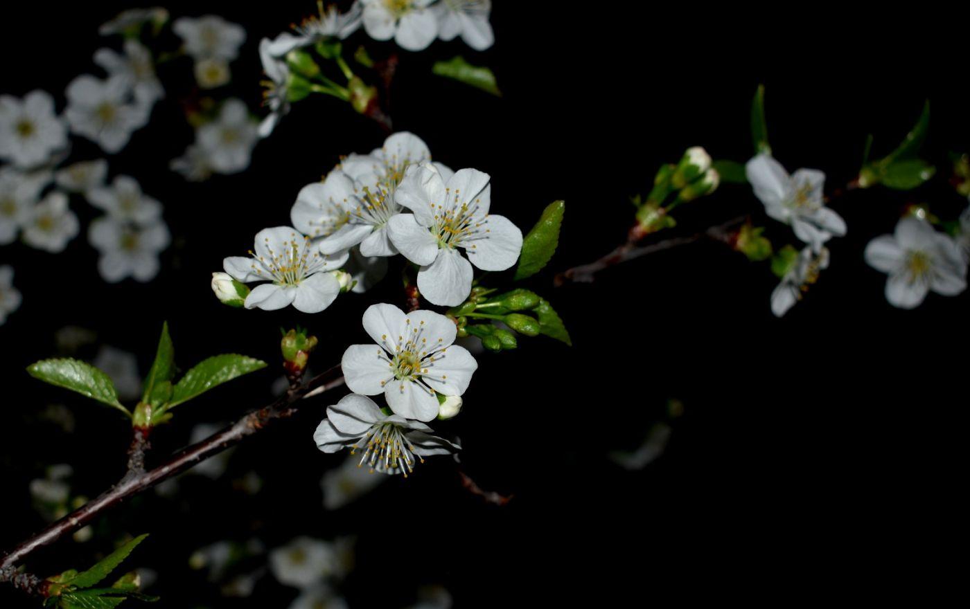 樱桃花开了_图1-19