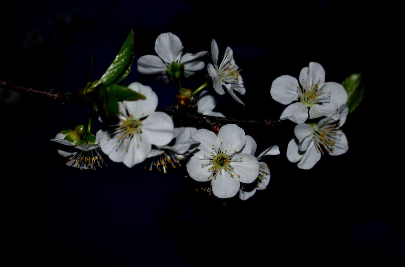 樱桃花开了_图1-20