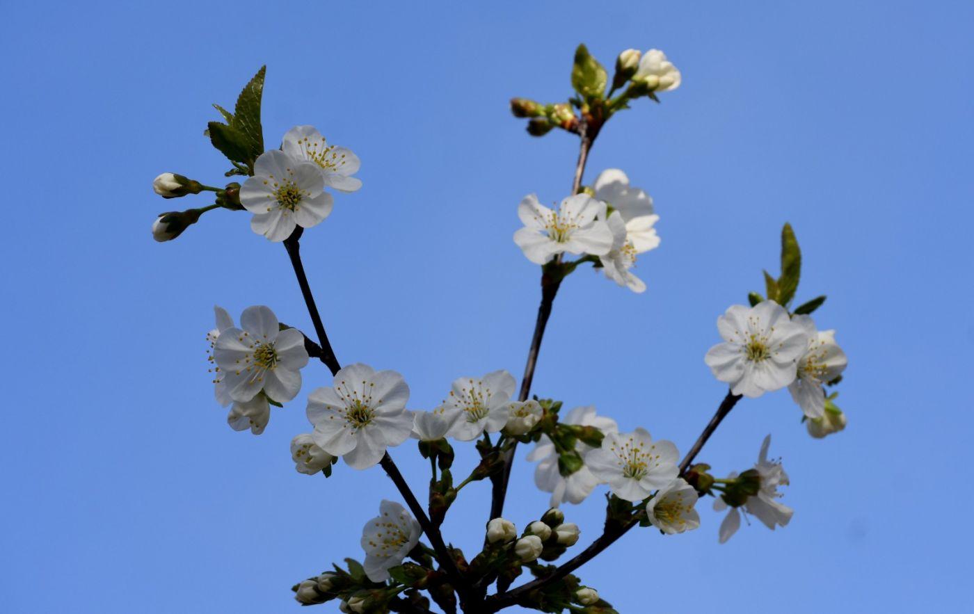 樱桃花开了_图1-21