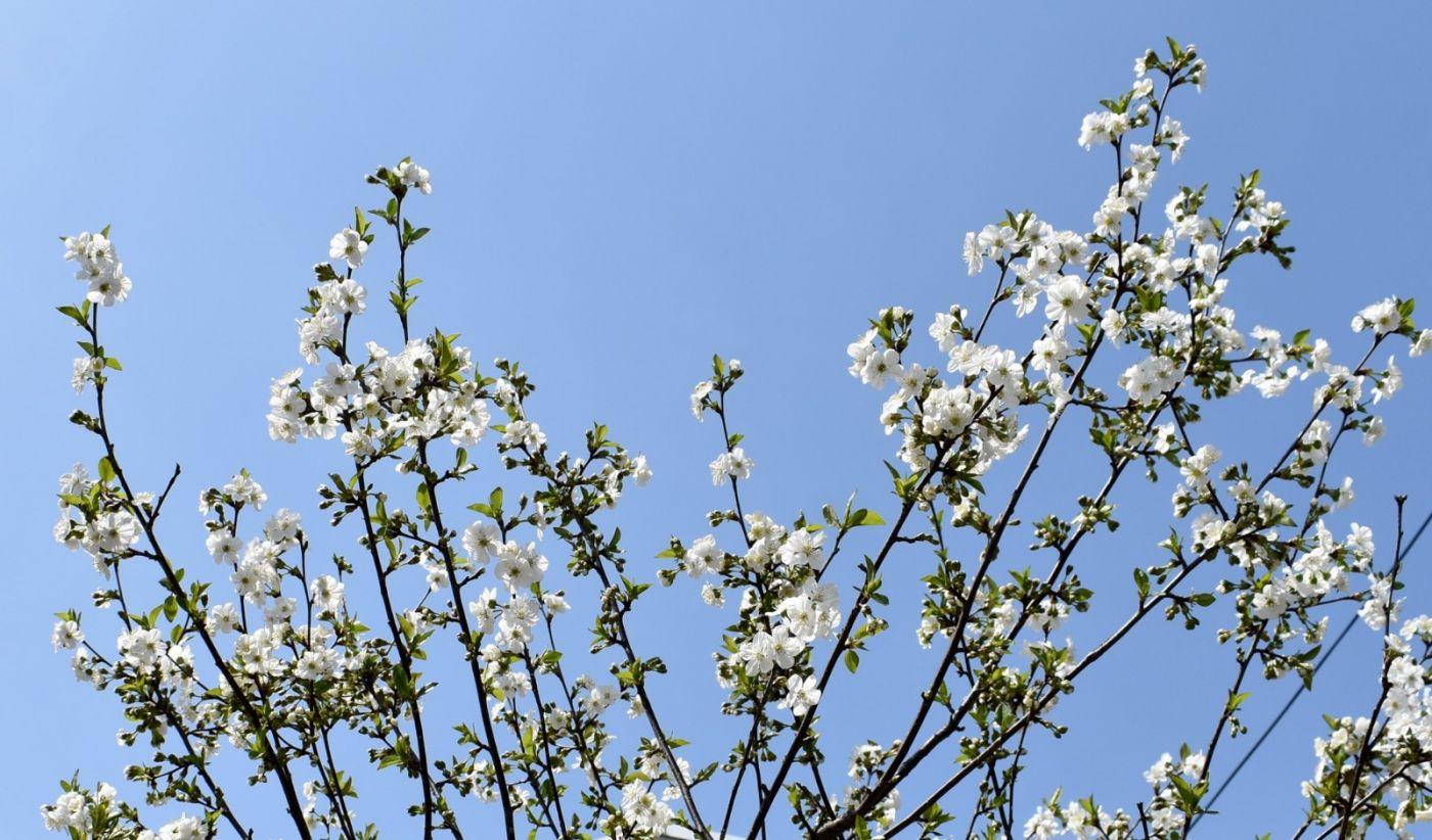 樱桃花开了_图1-22