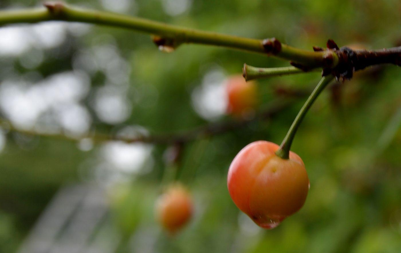 樱桃花开了_图1-25