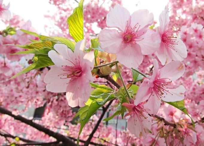 人间四月天-不仅赏樱-更赏四月枫红!_图1-1