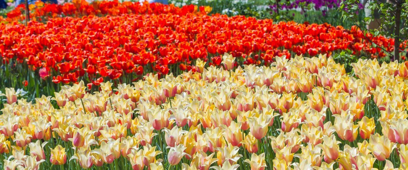 宾州长木公园,缤纷亮丽的郁金香_图1-39
