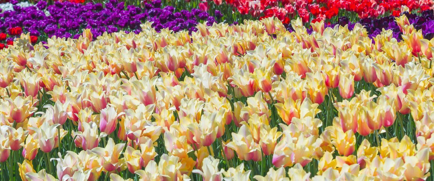 宾州长木公园,缤纷亮丽的郁金香_图1-33