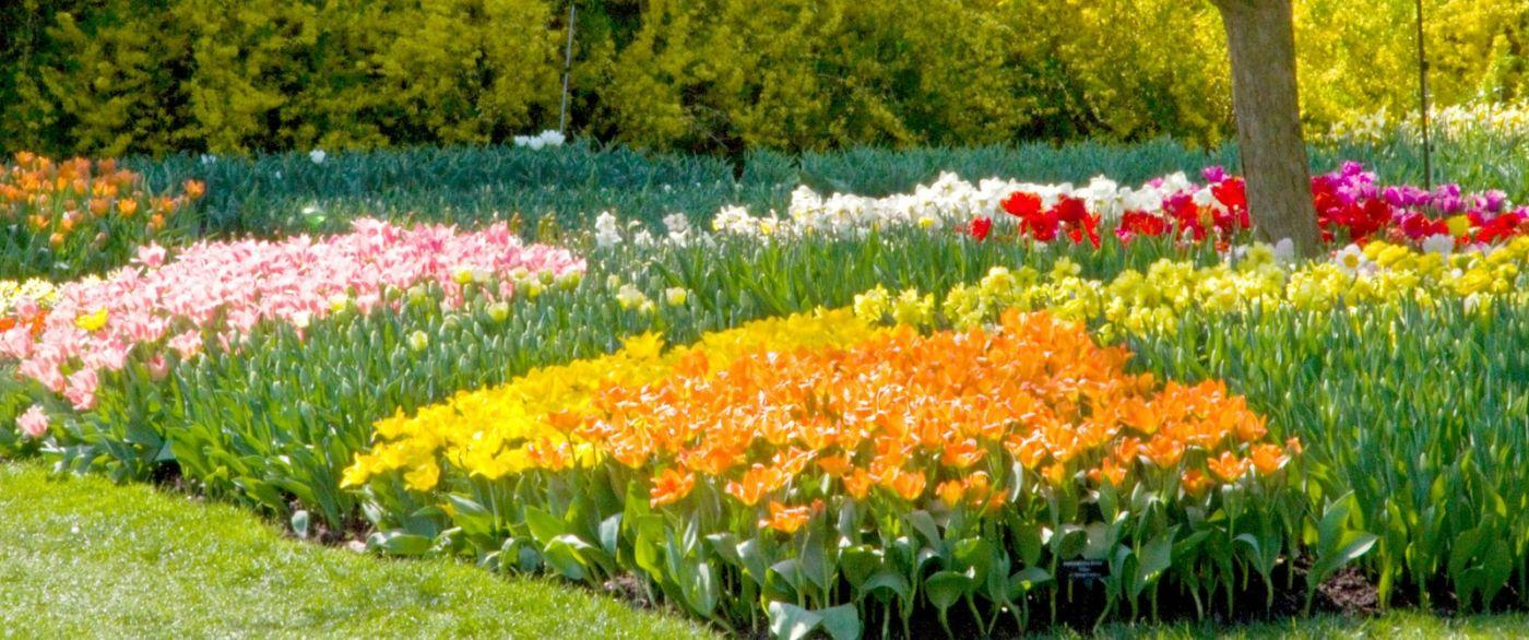 宾州长木公园,缤纷亮丽的郁金香_图1-37