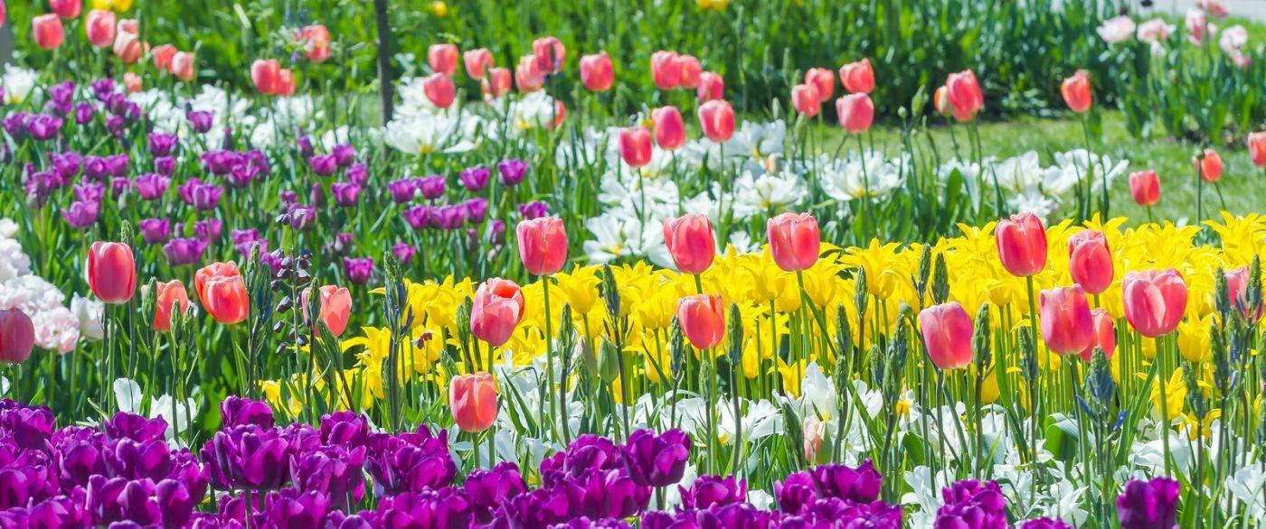 宾州长木公园,缤纷亮丽的郁金香_图1-32