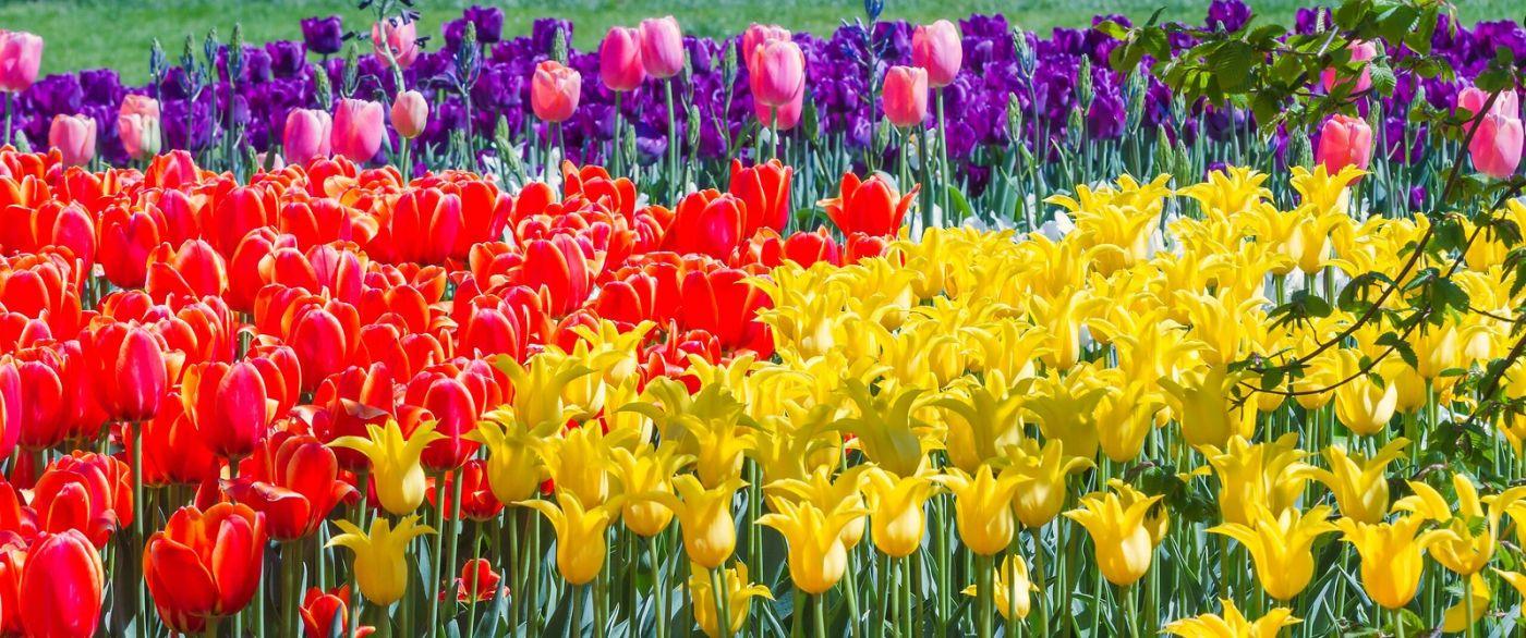 宾州长木公园,缤纷亮丽的郁金香_图1-31