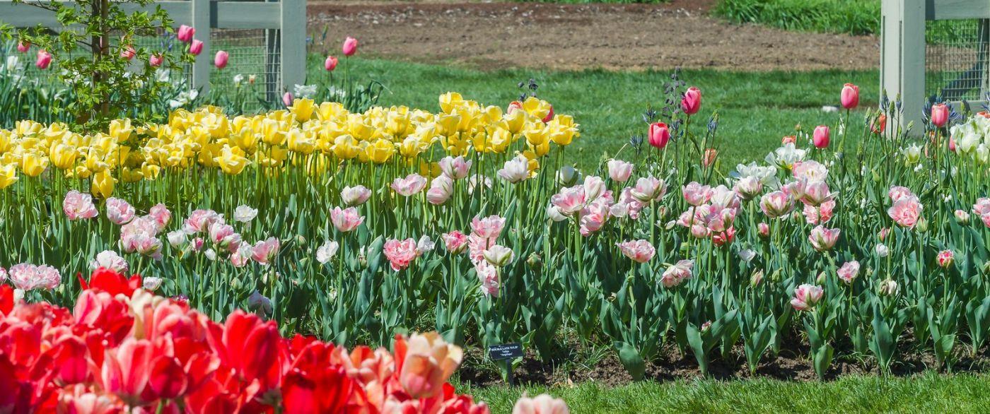 宾州长木公园,缤纷亮丽的郁金香_图1-25