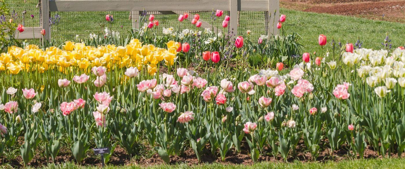宾州长木公园,缤纷亮丽的郁金香_图1-26