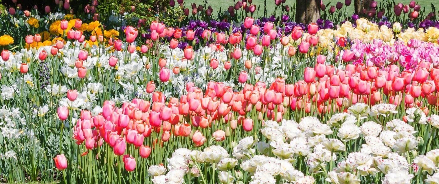 宾州长木公园,缤纷亮丽的郁金香_图1-28