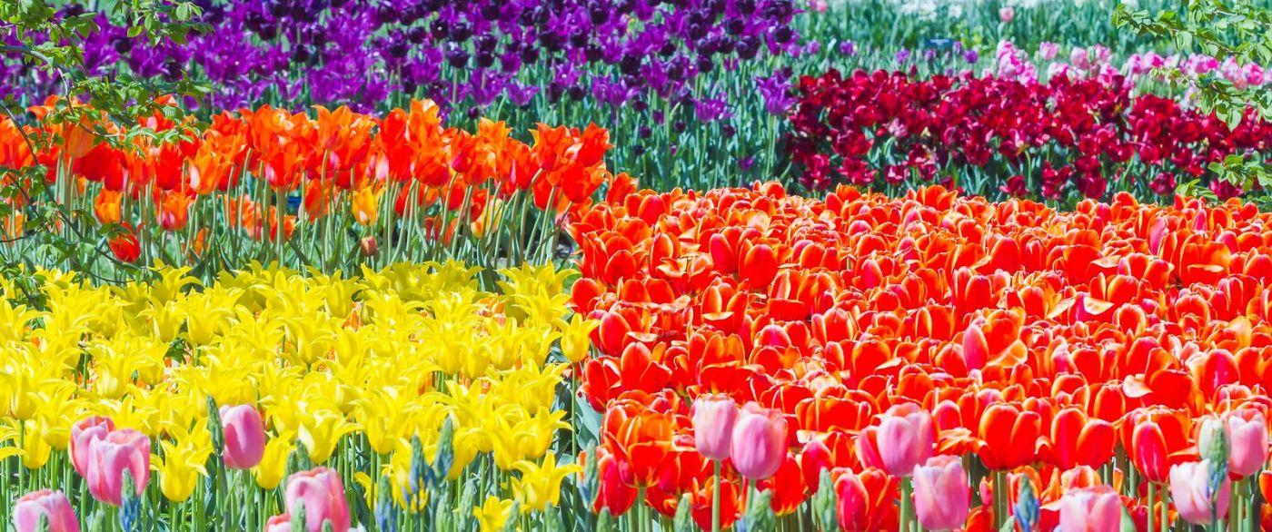宾州长木公园,缤纷亮丽的郁金香_图1-18