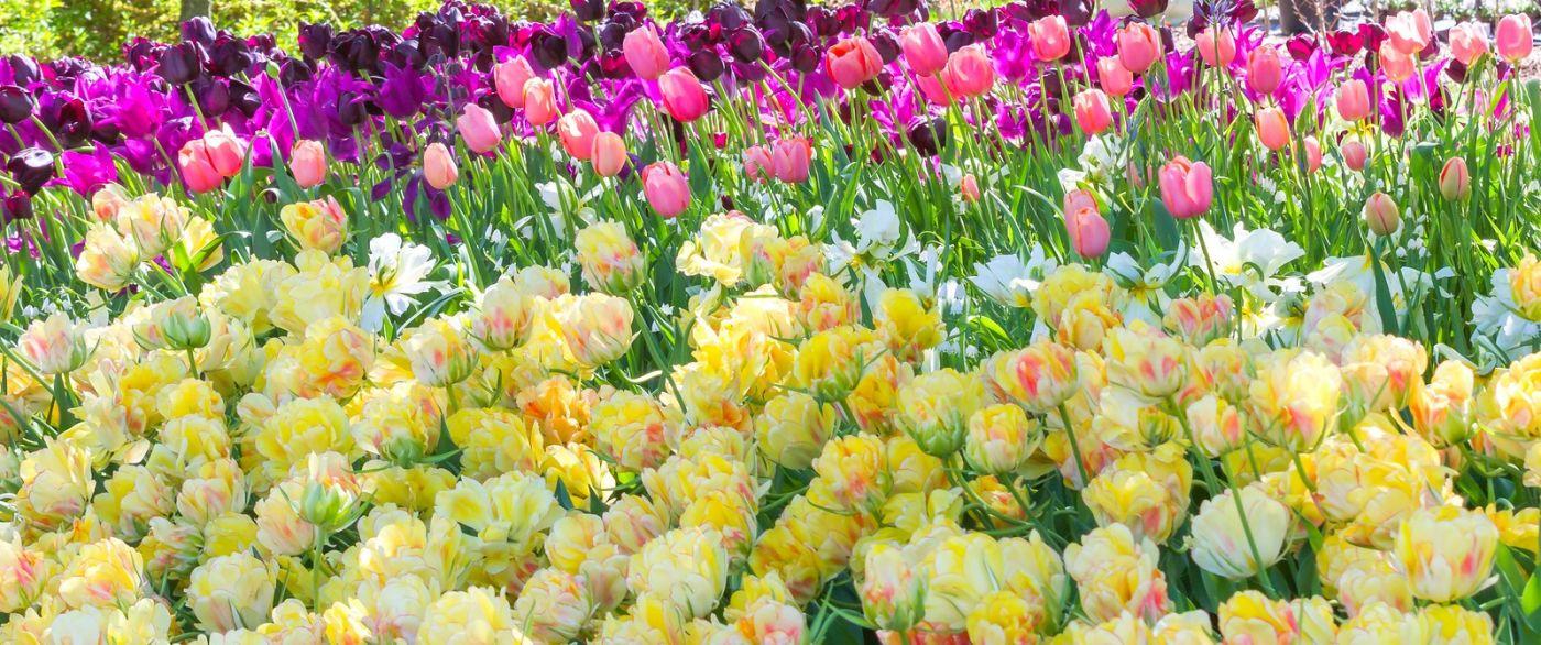 宾州长木公园,缤纷亮丽的郁金香_图1-16