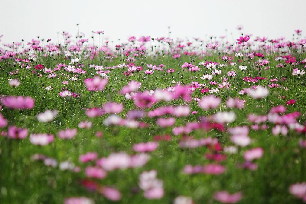 格桑花海_图1-15