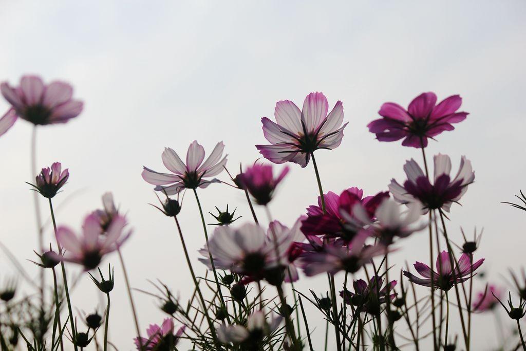 格桑花海_图1-19
