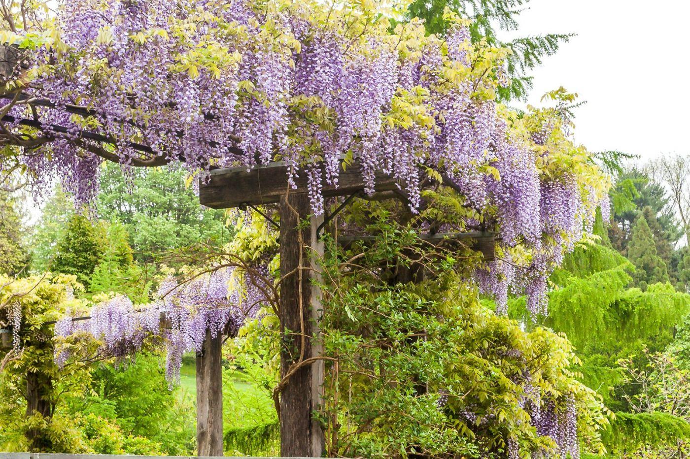 紫藤花相遇在春天_图1-4