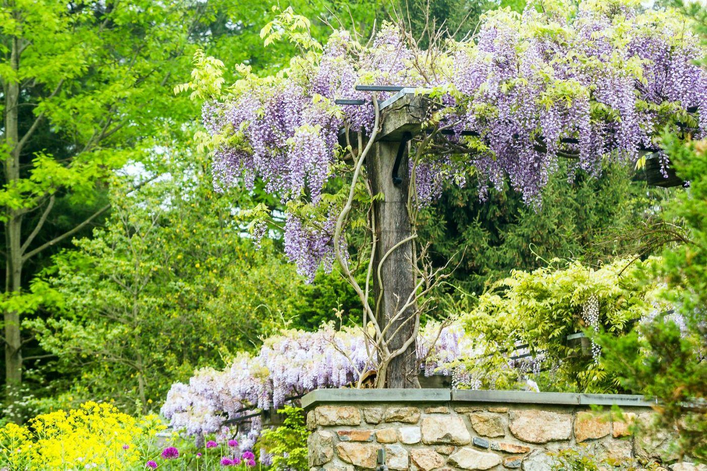 紫藤花相遇在春天_图1-2