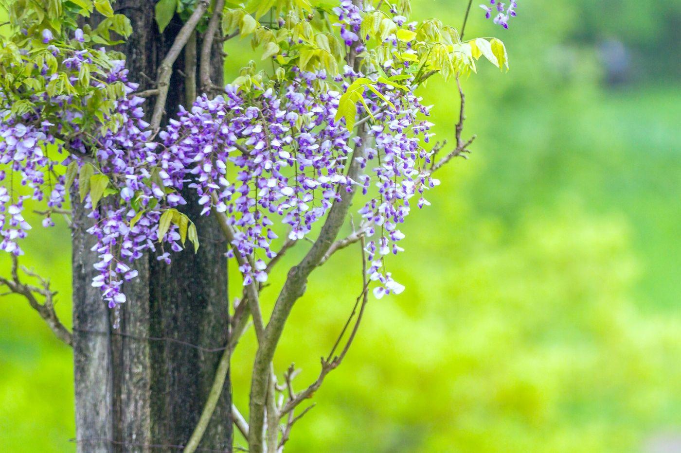 紫藤花相遇在春天_图1-1