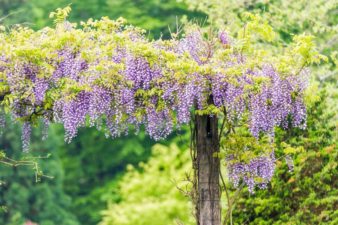 紫藤花相遇在春天_图1-7