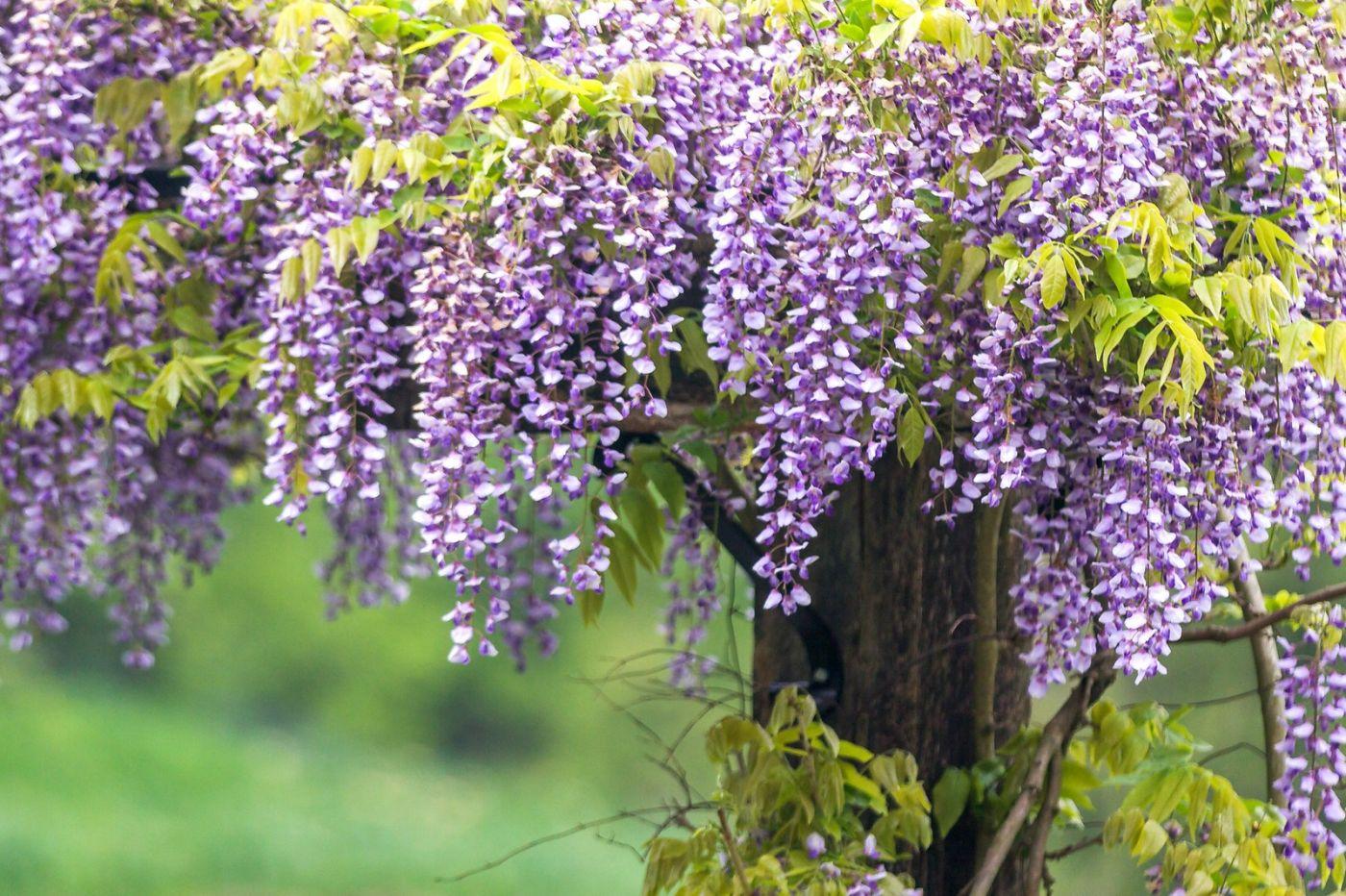 紫藤花相遇在春天_图1-6