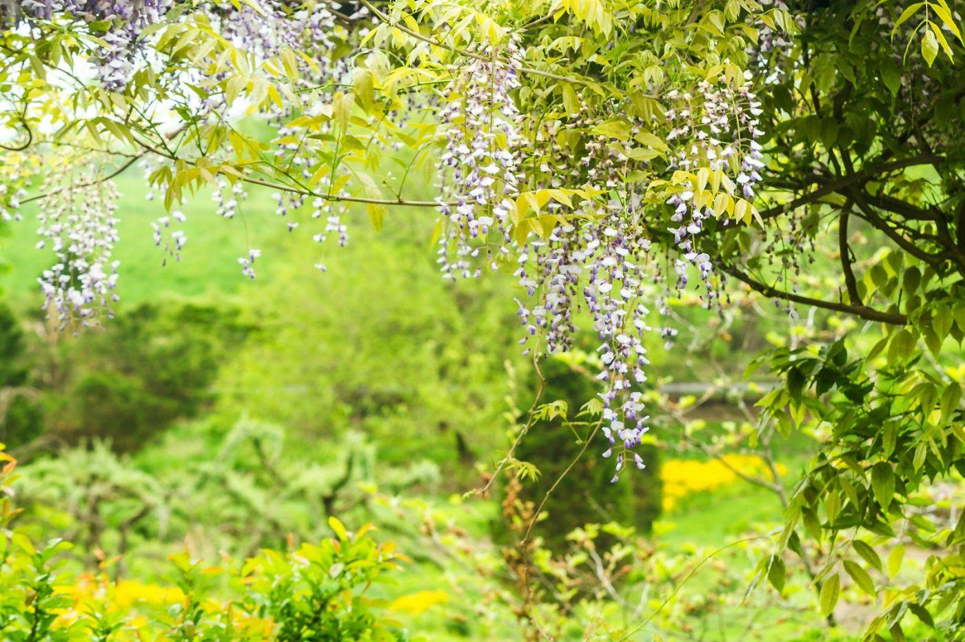 紫藤花相遇在春天_图1-5