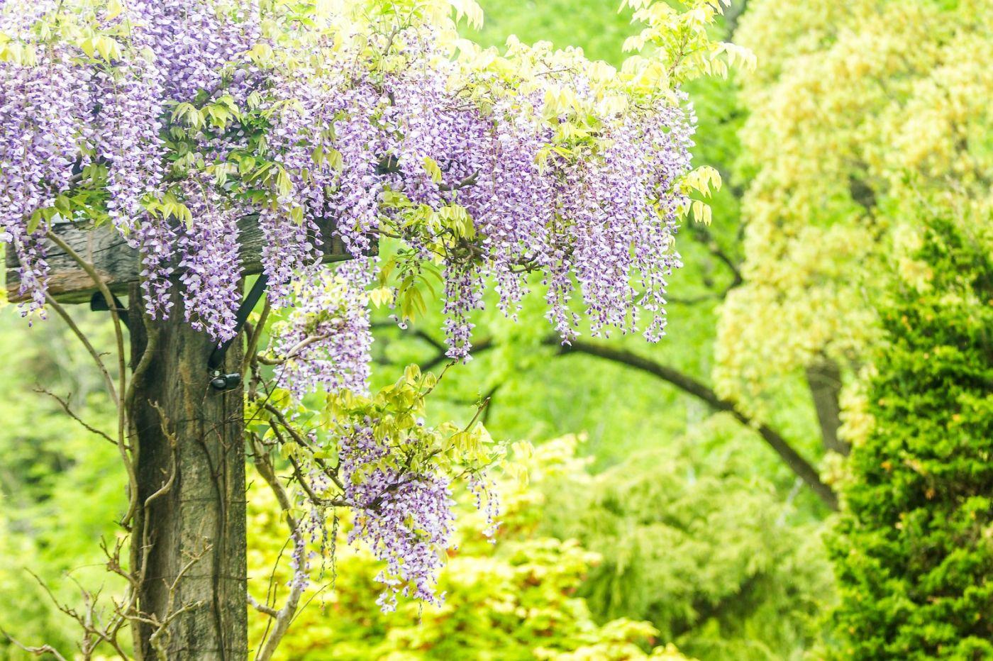 紫藤花相遇在春天_图1-12