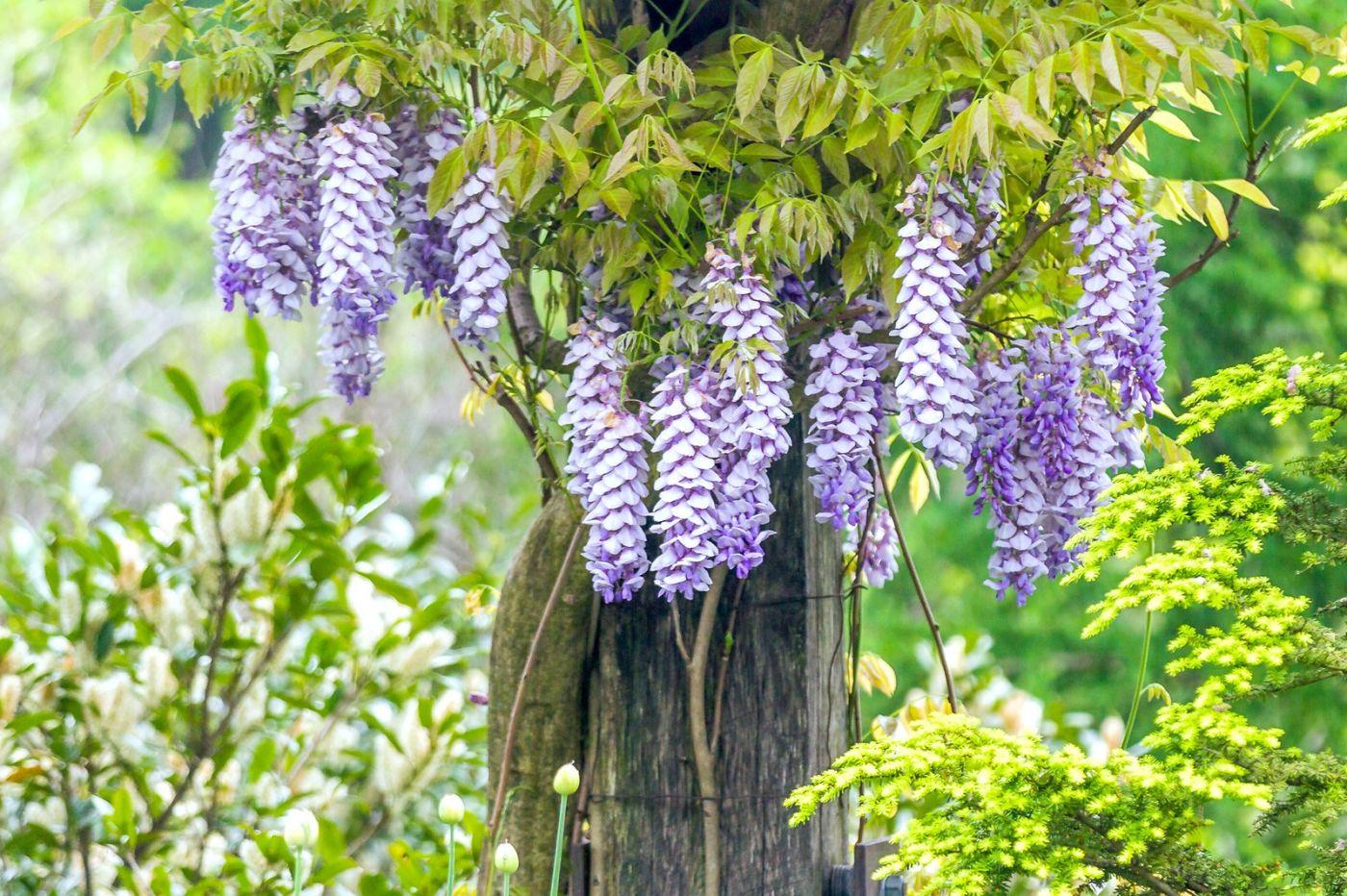 紫藤花相遇在春天_图1-9