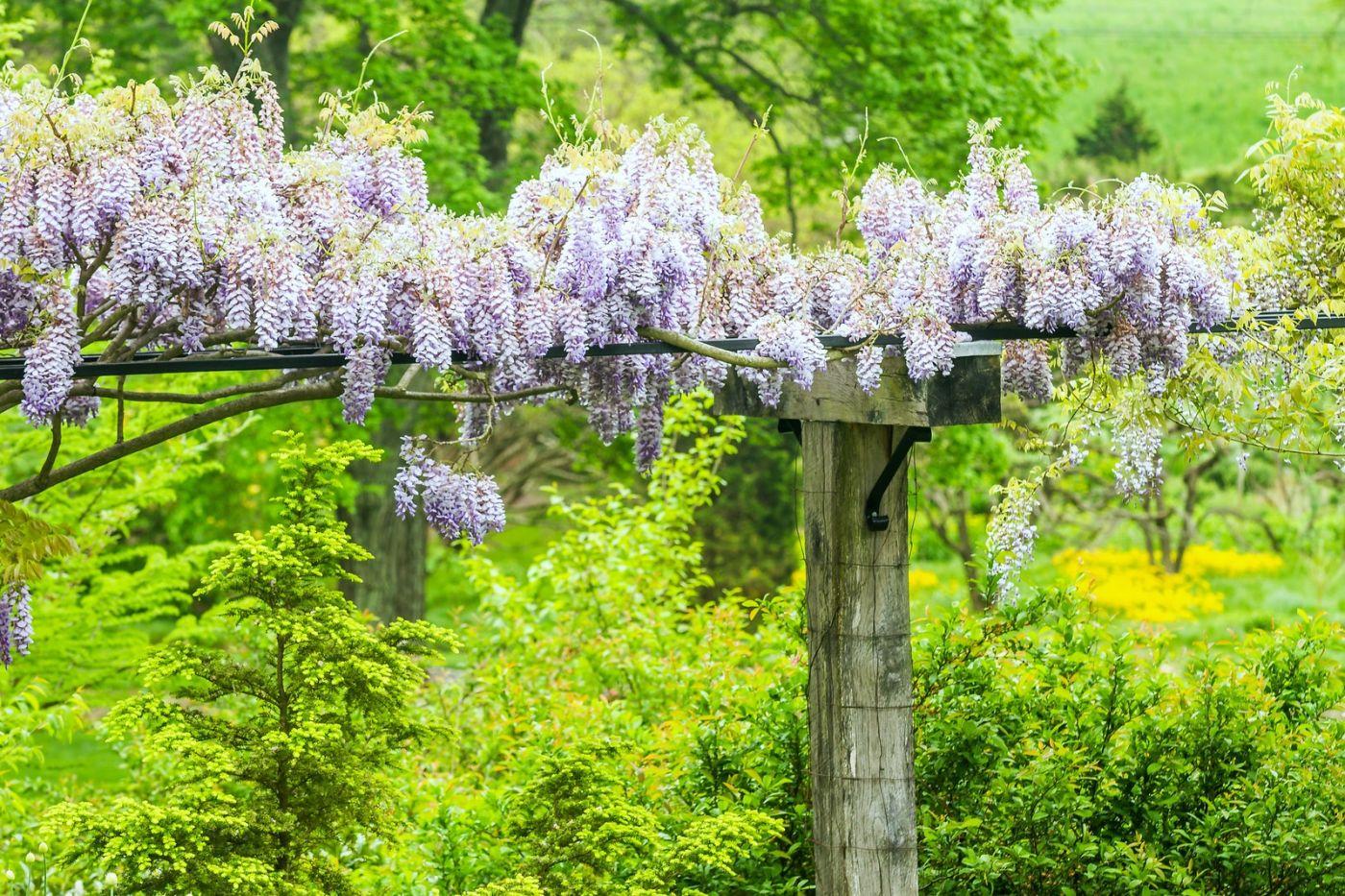 紫藤花相遇在春天_图1-10