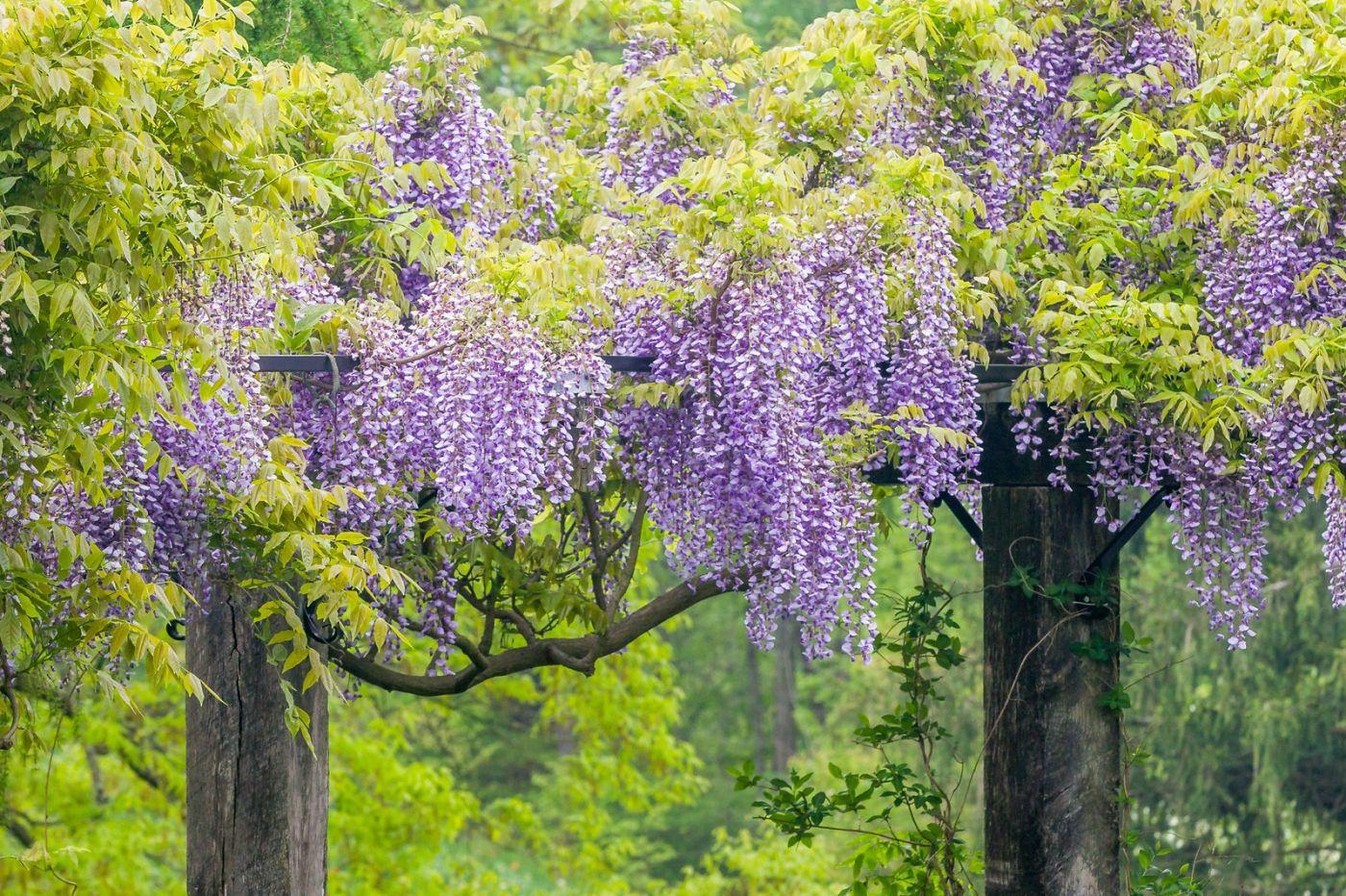 紫藤花相遇在春天_图1-13