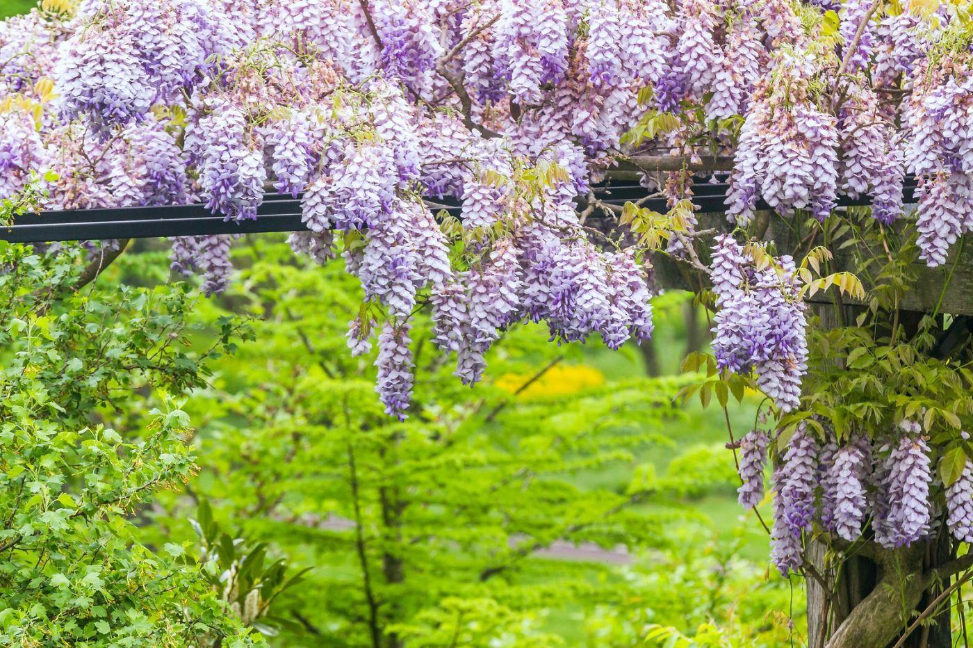 紫藤花相遇在春天_图1-14