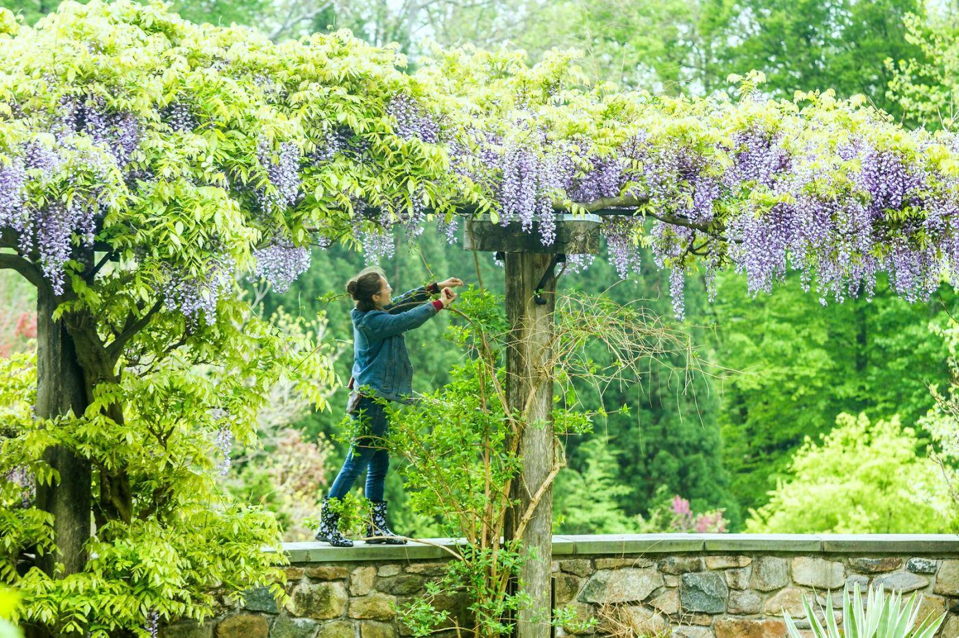紫藤花相遇在春天_图1-16