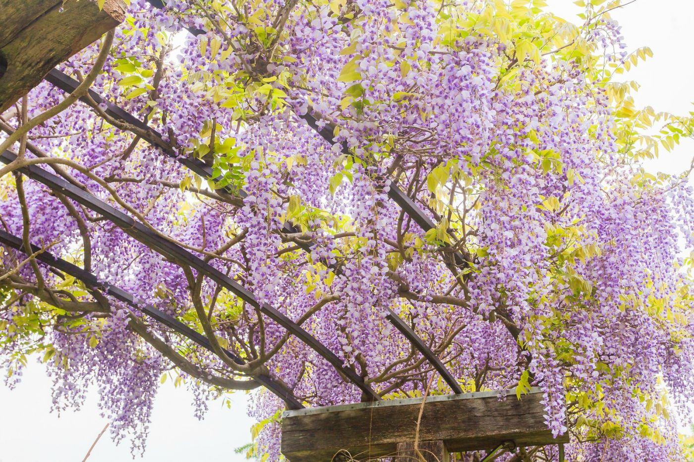 紫藤花相遇在春天_图1-20