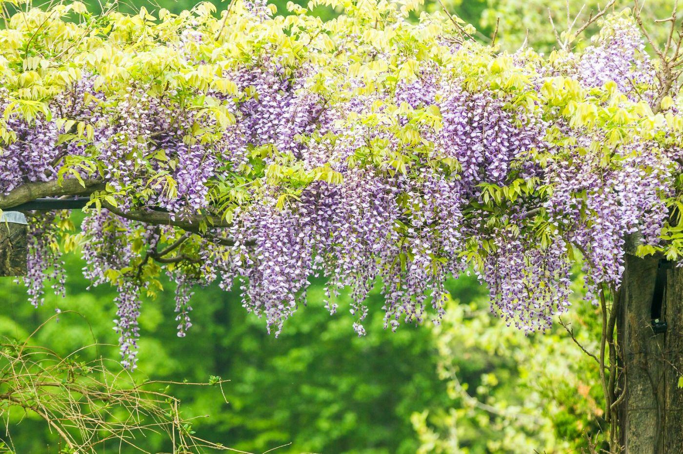 紫藤花相遇在春天_图1-19