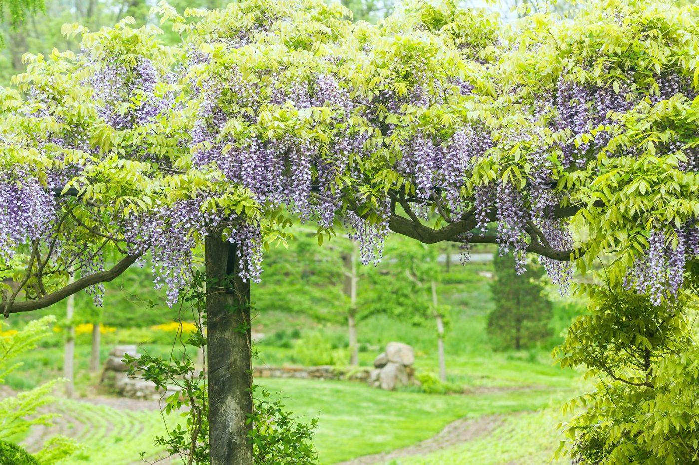 紫藤花相遇在春天_图1-17