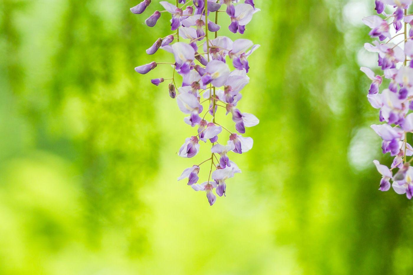紫藤花相遇在春天_图1-21