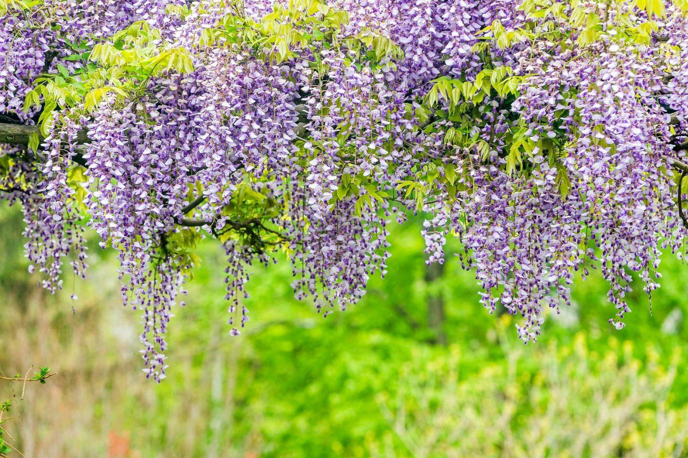 紫藤花相遇在春天_图1-22
