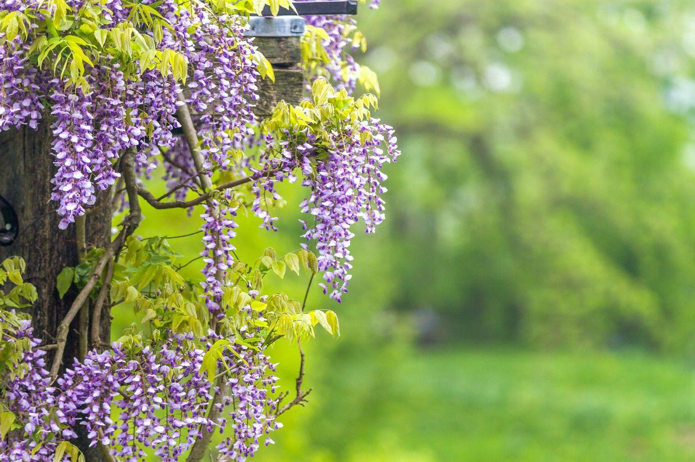 紫藤花相遇在春天_图1-23