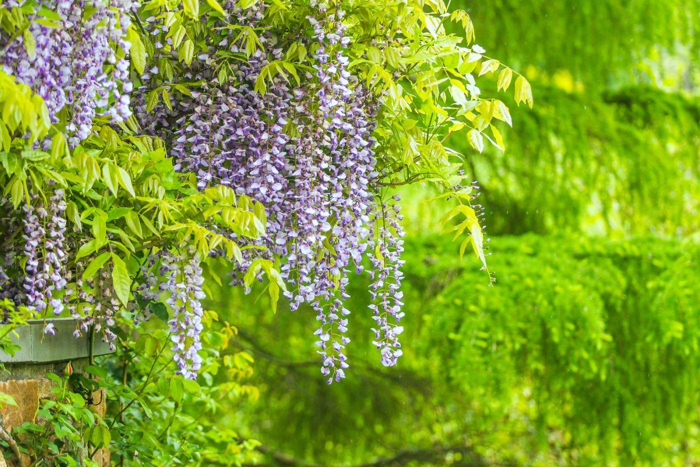 紫藤花相遇在春天_图1-25