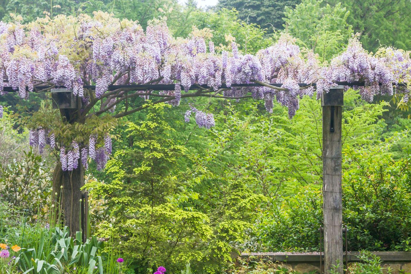 紫藤花相遇在春天_图1-26
