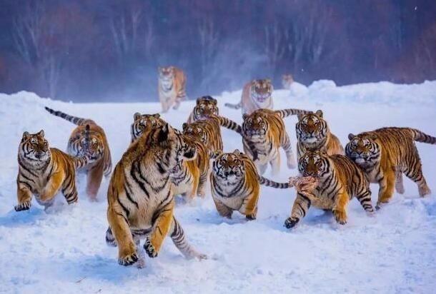 为什么老虎吃人后必须杀掉?不杀的后果有多么很严重_图1-1